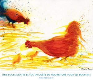 Une poule gratte le sol en quête de nourriture pour ses poussins